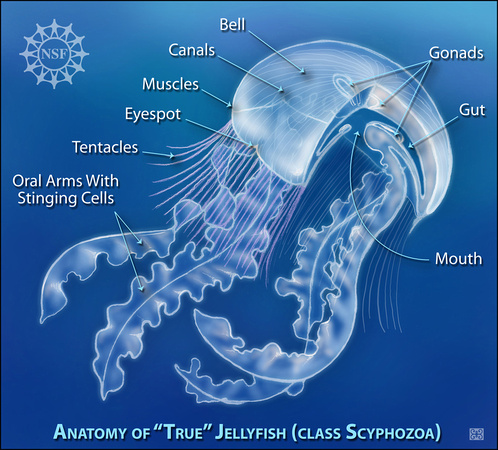 Anatomy of a Jellyfish