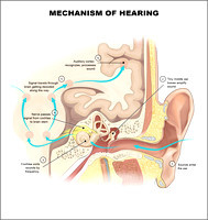 Mechanism of Hering
