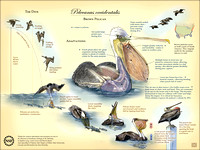 Adaptations, Anatomy and Behavior of the Brown Pelican