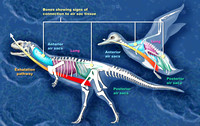 Dinosaur and Bird Respiratory Systems